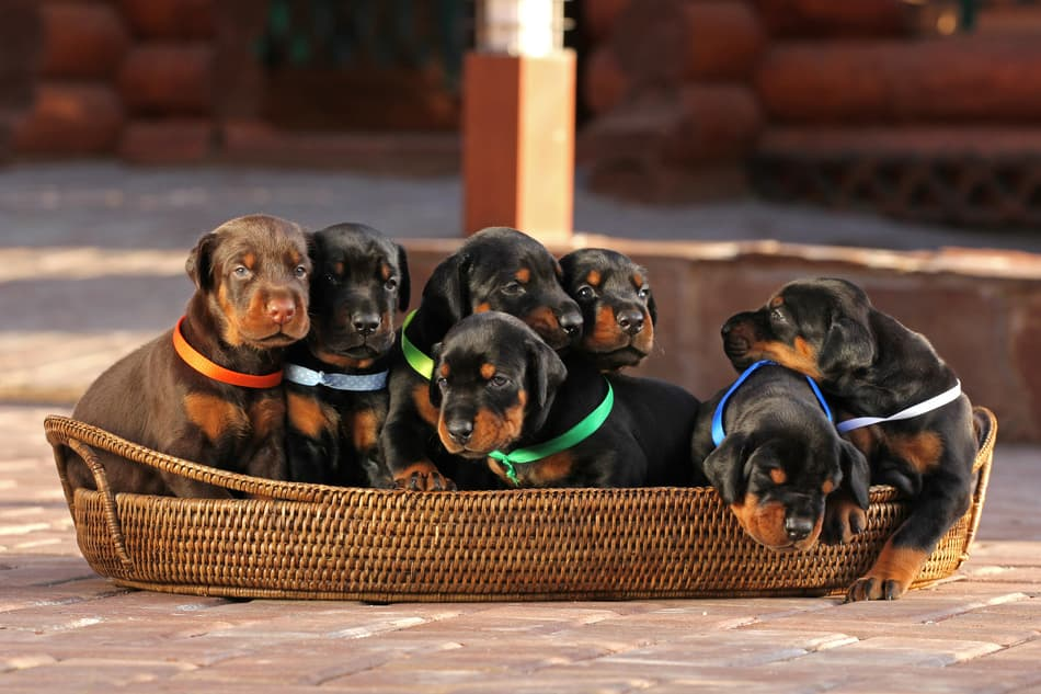 Doberman-Litter-Large